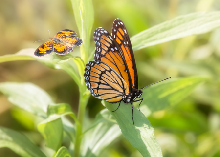metamorphosis: Viceroy Limenitis archippus butterfly and Pearl Crescent butterfly Phyciodes tharos resting on vegetation in Maryland during the Summer Stock Photo