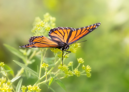 Viceroy butterfly Limenitis archippus butterfly resting on wildflowers and vegetation in Maryland during the Summer Stock Photo