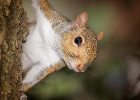 carolinensis: Eastern Gray Squirrel Sciurus carolinensis portrait taken in Maryland during the Summer