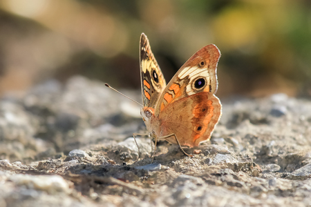 nectaring: Common Buckeye butterfly Junonia coenia resting on a rock in Maryland during the Summer