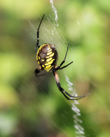 araneidae: Black and Yellow Garden Spider Argiope aurantia resting on her web in Maryland during the Summer Stock Photo