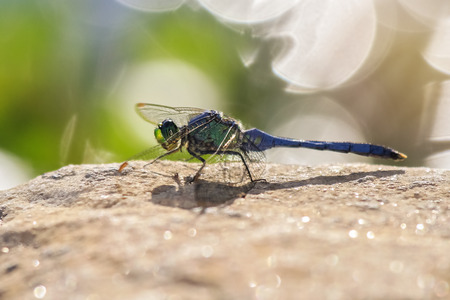 odonatology: Eastern Pondhawk dragonfly Erythemis simplicicollis resting on a rock in Maryland during the Summer