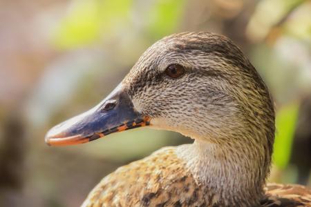 urban wildlife: Mallard duck Anas platyrhynchos resting by a lake in Maryland