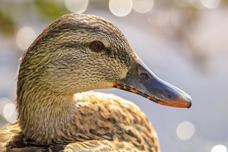 platyrhynchos: Mallard duck Anas platyrhynchos resting by a lake in Maryland