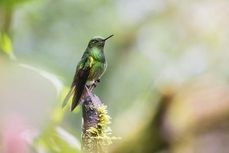Buff-tailed Coronet Boissonneaua flavescens hummingbird in Ecuador, South America Stock Photo