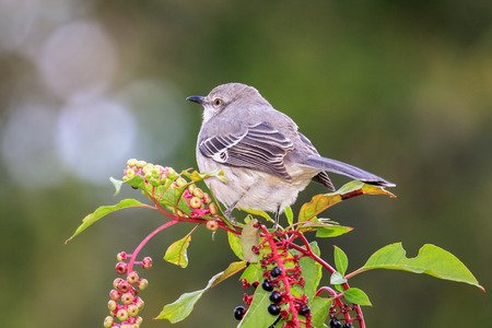 Northern Mockingbird Mimus polyglottos perching on pokeweed in Maryland during the Fall Stock Photo