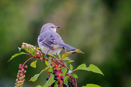 ruiseñor: Northern Mockingbird Mimus polyglottos perching on pokeweed in Maryland during the Fall Foto de archivo