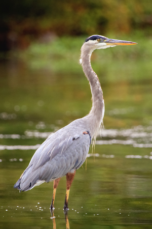 Great Blue Heron Ardea herodias standing in a lake in Maryland during the Fall