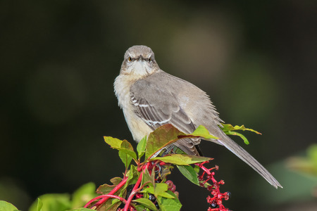 maryland: Northern Mockingbird Mimus polyglottos perching on pokeweed in Maryland during the Fall Stock Photo
