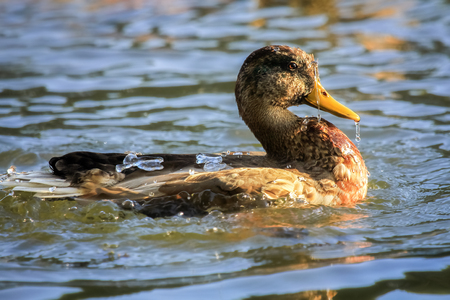 water fowl: Mallard drake Anas platyrhynchos in eclipse plumage bathing in a lake in Maryland during the Fall Stock Photo