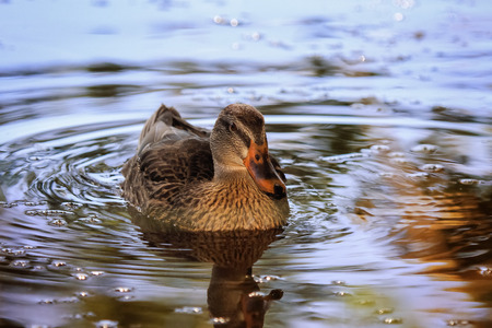 Mallard duck Anas platyrhynchos swimming on a lake in Maryland during the Fall Stock Photo