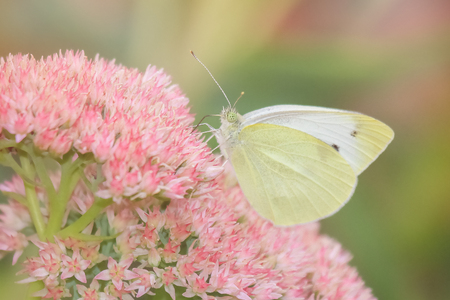 pieris: Cabbage White Pieris rapae butterfly feeding on wildflowers in Maryland during the Summer Stock Photo