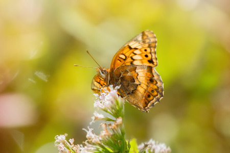nectaring: Variegated Fritillary butterfly Euptoieta claudia feeding on meadow wildflowers in Maryland during the Summer