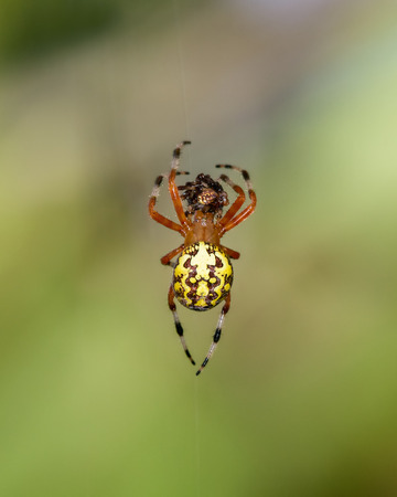 araneidae: Marbled Orb-weaver spider Araneus marmoreus with captured prey taken in Maryland during the Fall