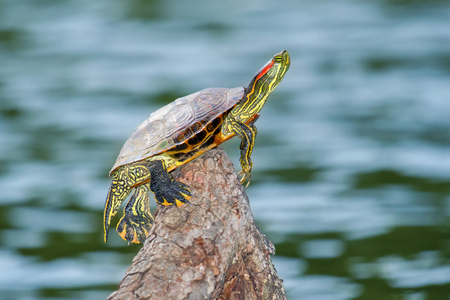 urban wildlife: Red-eared Slider pond turtle Trachemys scripta elegans basking on a log in Maryland during the Fall