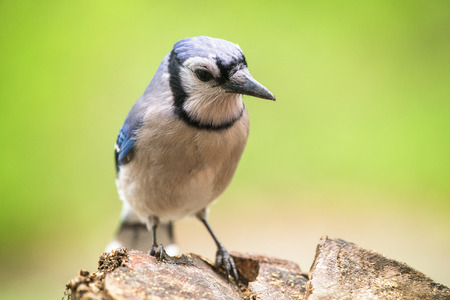 Blue Jay Cyanocitta cristata perching on a log in Maryland during the Spring