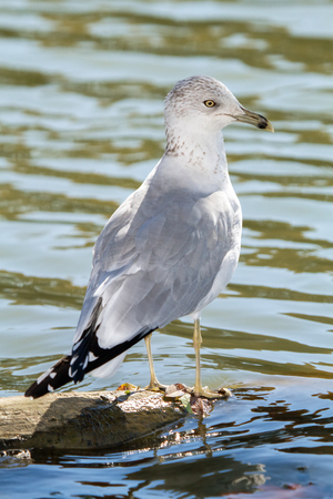 winter urban wildlife: Ring-billed Gull Larus delawarensis standing by a lake in Maryland during the Fall Stock Photo