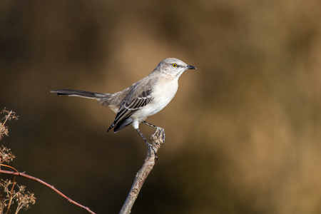 Northern Mockingbird Mimus polyglottos perching on a twig in Maryland during the Fall Stock Photo