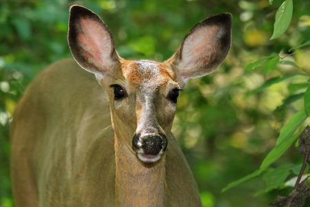 urban wildlife: White-tailed Deer doe Odocoileus virginianus standing in shady woodland in Maryland during the Summer