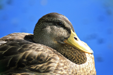 Mallard drake Anas platyrhynchos in eclipse plumage resting by a lake in Maryland during the Fall