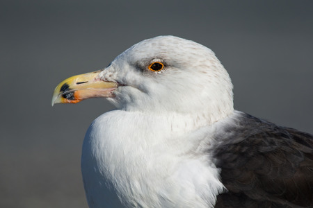 Great Black-backed Gull Larus marinus portrait taken in Ocean City, Maryland