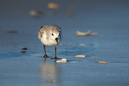 Sanderling Calidris alba foraging on the beach at Chincoteague National Wildlife Refuge during the Winter