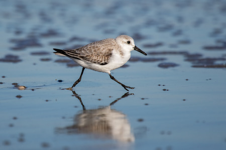 winter urban wildlife: Sanderling Calidris alba foraging on the beach at Chincoteague National Wildlife Refuge during the Winter