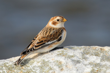 Snow Bunting Plectrophenax nivalis perched on a rock in Maryland during the Winter Stock Photo