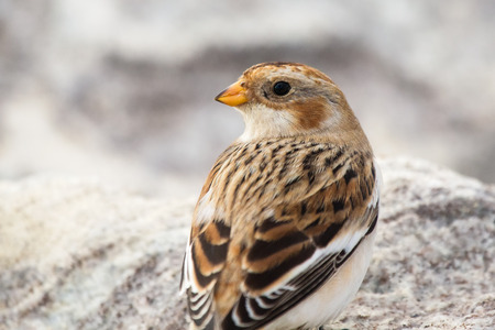 winter urban wildlife: Snow Bunting Plectrophenax nivalis perched on a rock in Maryland during the Winter Stock Photo