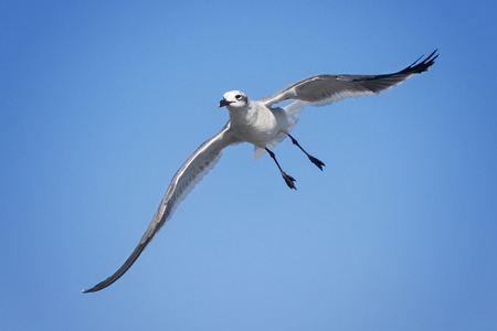 Laughing Gull Leucophaeus atricilla flying and gliding in Ocean City, Maryland
