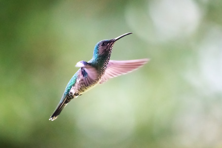 White-necked Jacobin hummingbird Florisuga mellivora flying in the forest in Costa Rica Stock Photo