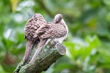 Inca dove Columbina inca preening itself in a tree in the forest in Costa Rica
