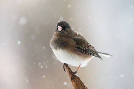Dark-eyed Junco bird Junco hyemalis perching on a branch during a snowstorm in the Winter
