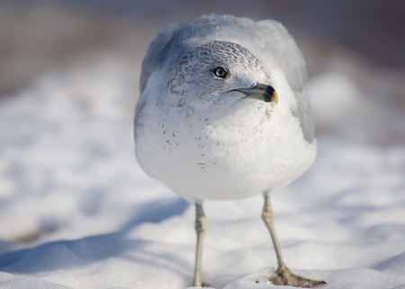 Ring-billed Gull Larus delawarensis standing in the snow in Maryland during the Winter Stock Photo