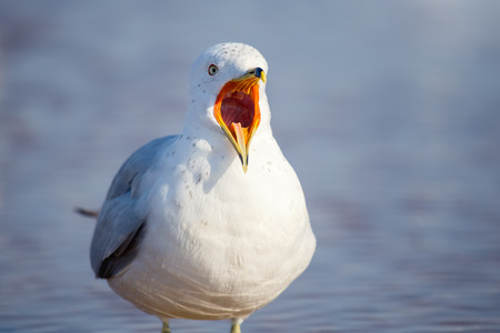 Ring-billed Gull Larus delawarensis vocalizing on a beach on Assateague Island during the Winter