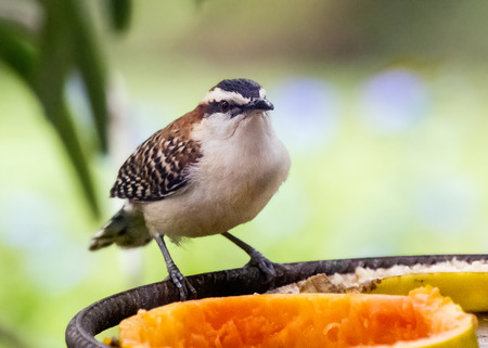 Rufous-naped Wren Campylorhynchus rufinucha eating fruit from a feeder in Costa Rica
