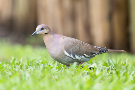 White-winged Dove Zenaida asiatica foraging in grass in Costa Rica Stock Photo