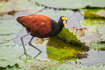 Northern Jacana Jacana spinosa standing on a lily pad in Costa Rica Archivio Fotografico