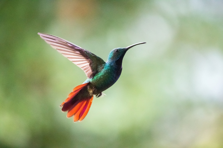Green-breasted Mango hummingbird Anthracothorax prevostii flying in the forest in Costa Rica Stock Photo