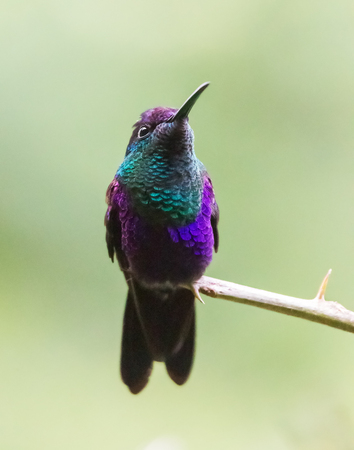 Violet crowned Woodnymph hummingbird Thalurania colombica colombica perching on a twig in the forest in Costa Rica Фото со стока