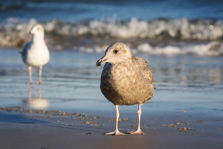 Herring Gull Larus argentatus standing on the beach on Assateague Island during the Winter