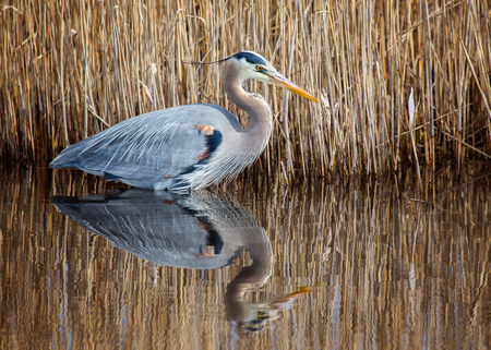 Great Blue Heron Ardea herodias hunting in a stream at Blackwater National Wildlife Refuge during the Winter