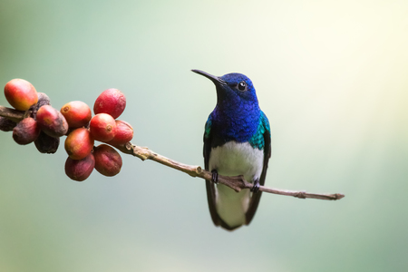 White-necked Jacobin hummingbird Florisuga perching on a twig in Costa Rica