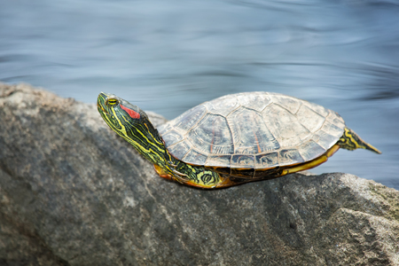 Red-eared Slider pond turtle Trachemys scripta elegans basking on a rock in Maryland during the Spring