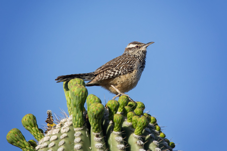 Cactus Wren Campylorhynchus brunneicapillus perching on a cactus in Arizona Imagens