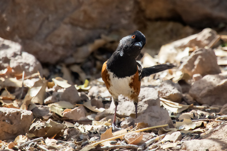 Spotted Towhee Pipilo maculatus bird standing in leaf litter in Arizona Stock Photo