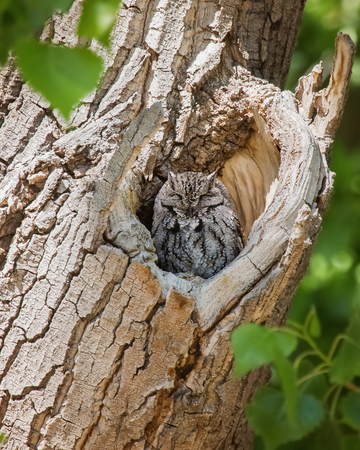 megascops: Western Screech-Owl Megascops kennicottii bird roosting in a tree in Arizona