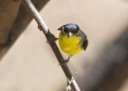 desert ecosystem: Lesser Goldfinch Spinus psaltria end perching on a twig in Arizona