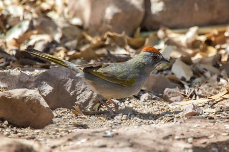 Green-tailed Towhee Pipilo chlorurus foraging on the ground in Arizona Reklamní fotografie