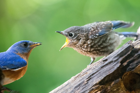 Eastern Bluebird Sialia sialis feeding a fledgling in Maryland during the Spring